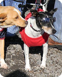 Rat Terrier Dog for adoption in Vidor, Texas - Snoops