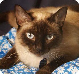 Siamese Cat Adoption Michigan