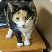 Adopt A Pet :: Calico - Secaucus, NJ