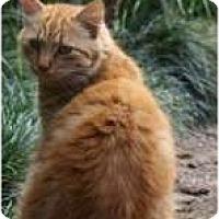 Adopt A Pet :: Andy Cap - Makawao, HI