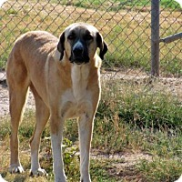 Anatolian Shepherd Mix Dog for adoption in Quinlan, Texas - Sassy