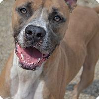 Adopt A Pet :: Odie - Toledo, OH