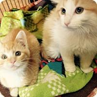 Adopt A Pet :: Foxy - Encinitas, CA