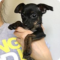 Adopt A Pet :: Pink - Studio City, CA