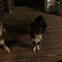 Australian Shepherd Dog for adoption in Wapwallopen, Pennsylvania - Kono