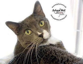 Domestic Shorthair Cat for adoption in Belton, Missouri - Violet