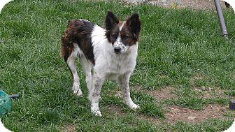 Australian Shepherd Mix Puppy for adoption in Post Falls, Idaho - Ranger