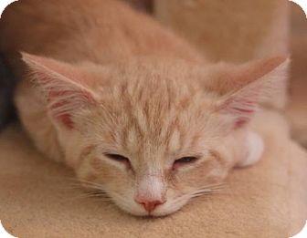 Domestic Shorthair Kitten for adoption in Elkhorn, Wisconsin - Russell