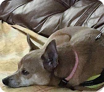 Chihuahua Mix Dog for adoption in San Juan Capistrano, California - Lili