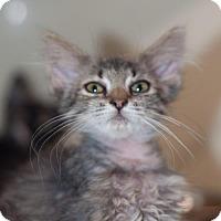 Domestic Mediumhair Kitten for adoption in New Martinsville, West Virginia - Yoda