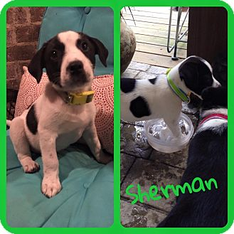 Border Collie Mix Puppy for adoption in Brunswick, Maine - Sherman