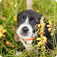 Schnauzer (Standard)/Welsh Terrier Mix Puppy for adoption in boston, Massachusetts - Bailey