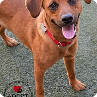 Hound (Unknown Type)/Labrador Retriever Mix Dog for adoption in Youngwood, Pennsylvania - Bandit