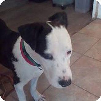 Carolina Dog Mix Puppy for adoption in Red Lion, Pennsylvania - Jackson
