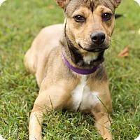 Adopt A Pet :: Emmie - Washington, DC