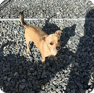 Chihuahua Mix Dog for adoption in Thomasville, North Carolina - Jakey