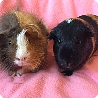 Adopt A Pet :: Butterfinger - Steger, IL