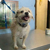 Terrier (Unknown Type, Small) Mix Dog for adoption in San Bernardino, California - URGENTON 11/12 San Bernardino