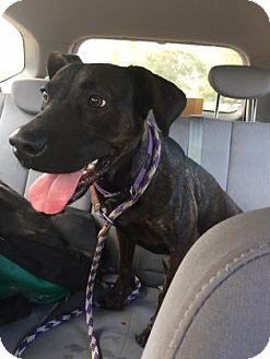 Plott Hound Mix Dog for adoption in Gainesville, Florida - Happy
