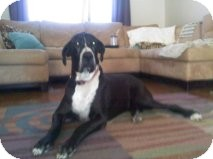 Great Dane Dog for adoption in Phoenix, Arizona - Tank