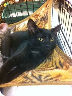 Domestic Shorthair Kitten for adoption in Sacramento, California - Wasabi