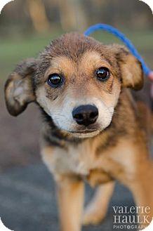 Belgian Malinois/Dutch Shepherd Mix Puppy for adoption in Lancaster, Ohio - Molly
