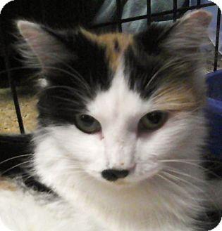 Domestic Mediumhair Cat for adoption in Medford, Massachusetts - Honey