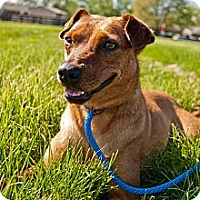 German Pinscher/Terrier (Unknown Type, Small) Mix Dog for adoption in Shelbyville, Kentucky - Pistol Annie