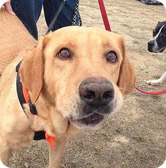Labrador Retriever Dog for adoption in San Antonio, Texas - Johnny Cash