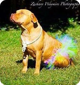 Staffordshire Bull Terrier Dog for adoption in Maumelle, Arkansas - courtesy - Rosie / 2015