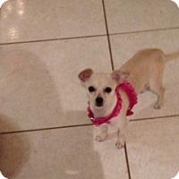 Adopt A Pet :: Luna - Pembroke pInes, FL