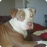 Adopt A Pet :: Bindi - Belleville, MI