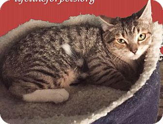 Domestic Longhair Cat for adoption in Monrovia, California - Pebbles