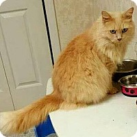 Adopt A Pet :: Ginger - Chattanooga, TN
