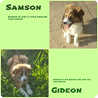 Adopt A Pet :: Gideon - Clear Lake, IA