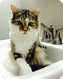Domestic Mediumhair Cat for adoption in Burlington, North Carolina - TIA