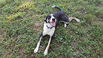 Sheltie, Shetland Sheepdog/Hound (Unknown Type) Mix Dog for adoption in Winchester, Kentucky - Emma Lou