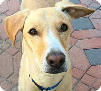 Whippet/Labrador Retriever Mix Dog for adoption in Anaheim, California - Sandi