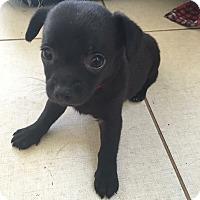 Adopt A Pet :: Bashful - Lima, PA