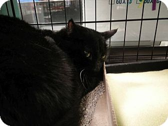 Domestic Shorthair Cat for adoption in Avon, Ohio - Joanis