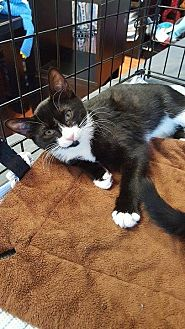 Domestic Shorthair Kitten for adoption in North Haledon, New Jersey - Dory