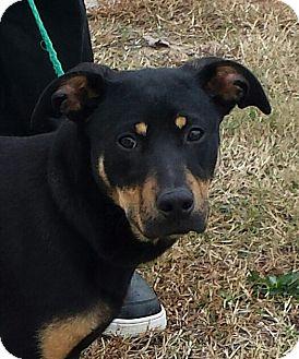 German Shepherd Dog/Doberman Pinscher Mix Puppy for adoption in Snow Hill, North Carolina - Porsche