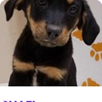 Adopt A Pet :: Raphael - Patterson, NY