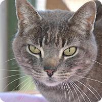 Adopt A Pet :: Mr. Clem *Declawed* - Glendale, AZ