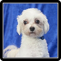 maltese rescue san diego san diego ca maltese meet kuma a dog for adoption 161