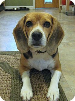 Beagle Dog for adoption in Portland, Oregon - Daisy-2