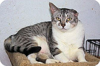 Domestic Shorthair Cat for adoption in St. James City, Florida - Gizmo