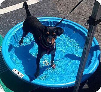 Miniature Pinscher Mix Dog for adoption in Tustin, California - Collen
