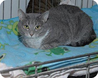 Domestic Shorthair Cat for adoption in Jaffrey, New Hampshire - Calise & Calzini