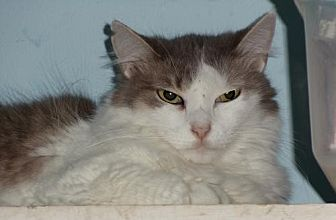 Domestic Mediumhair Cat for adoption in Palm City, Florida - Sammie